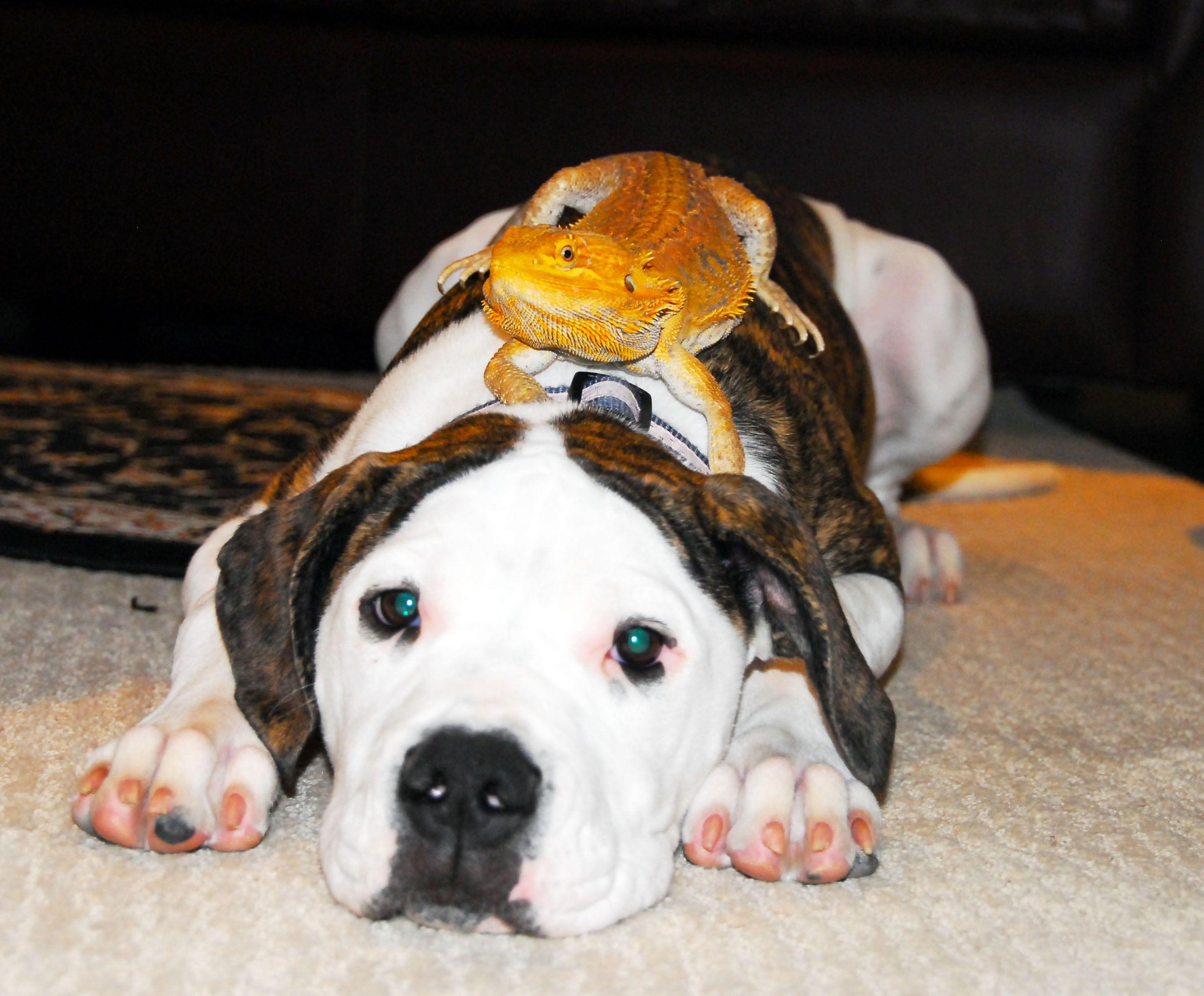 American Bulldog & Bearded Dragon