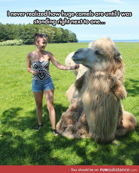 Camels are huge! And kinda cute...?