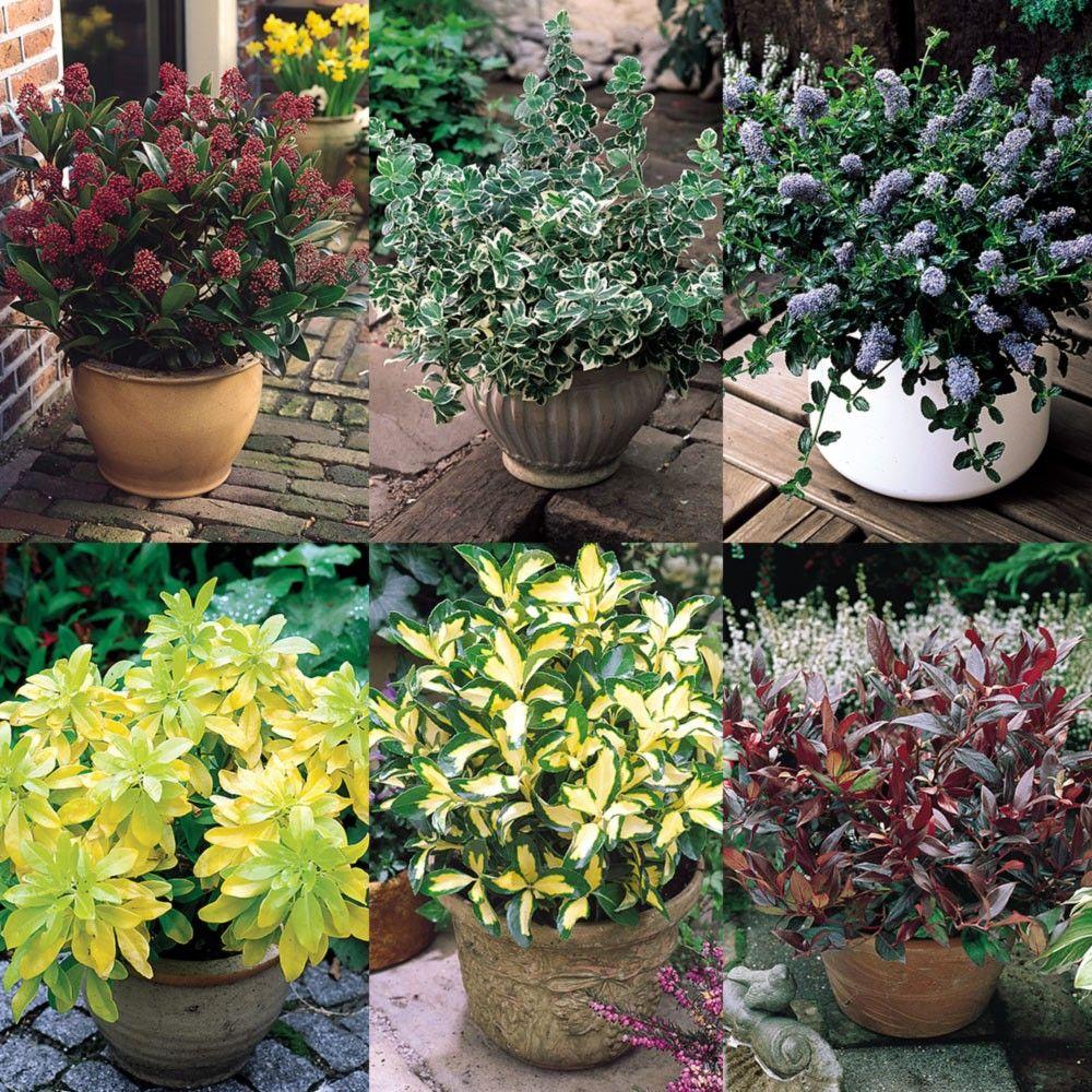 Six Evergreen Shrubs Small evergreen shrubs, Garden