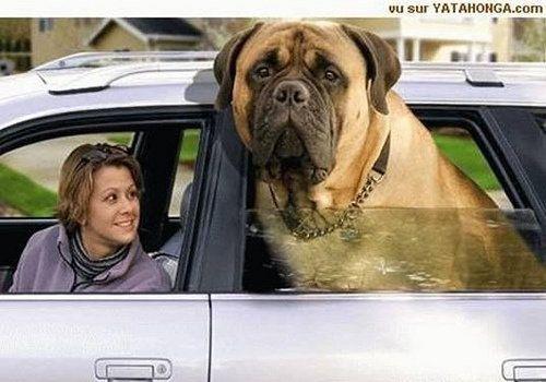捷安特公路�:`'�/i_ャc紊с違鐚13|Bigdogbreeds,Hugedogs,Englishmastiff