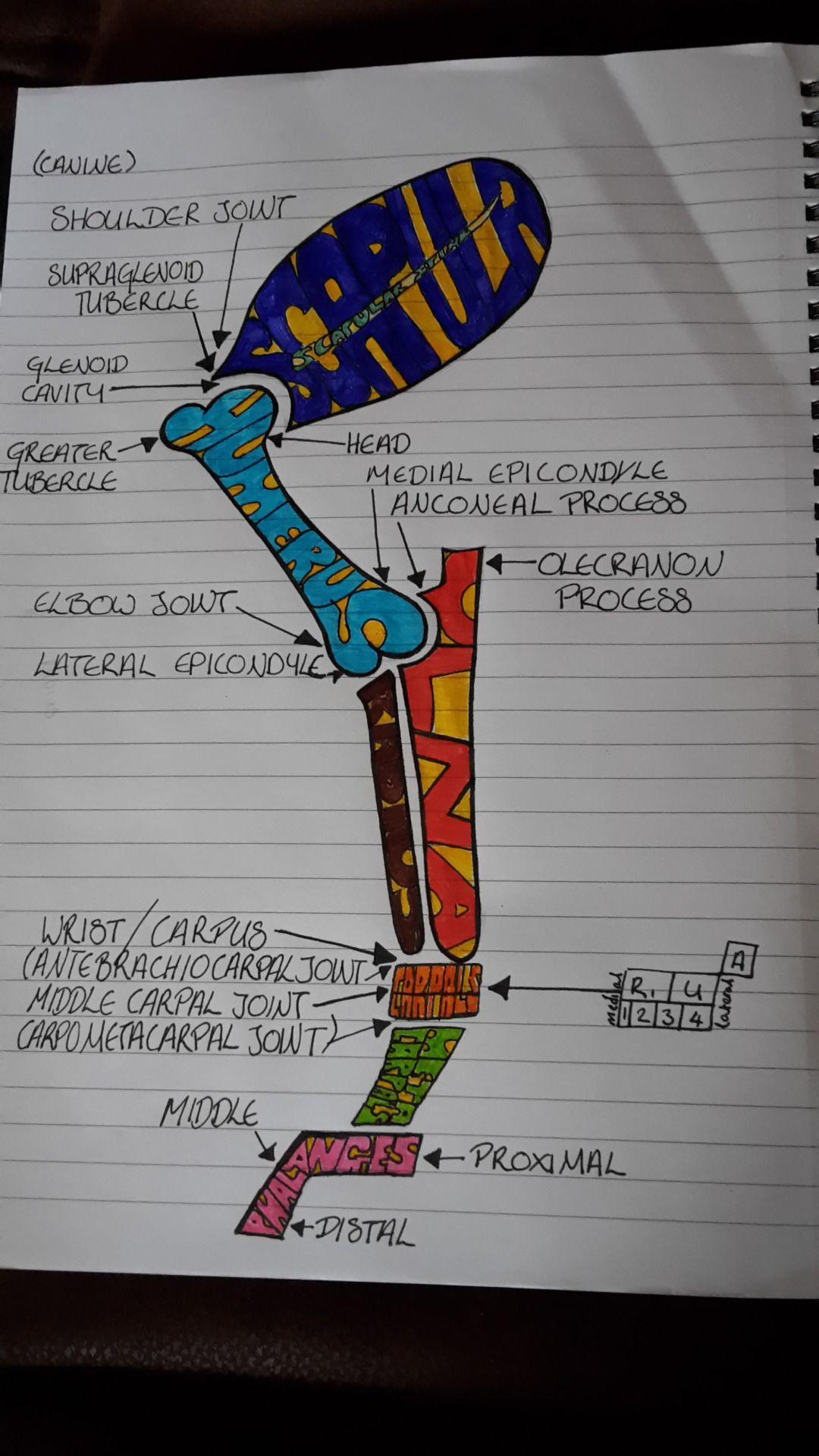 "astressedvetstudent: "" I drew a quick sketch of the bones of the ..."