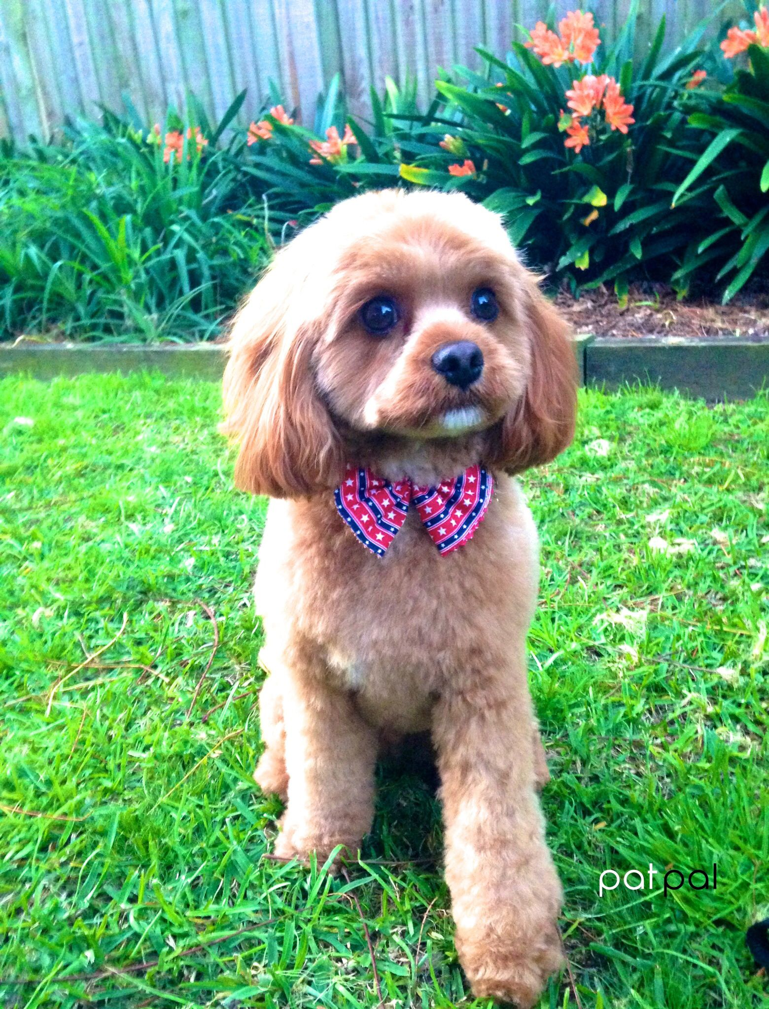 Cute Cavoodle At Patpal Dog Grooming Willoughby Sydney Www Patpaldoggrooming Com Dog Grooming Salons Dog Grooming Cute Animals