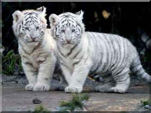 tigrecitos