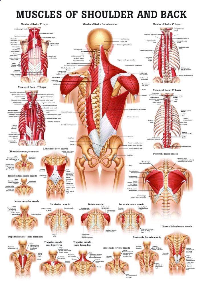 Pin de jetayosa en Cultura científica   Pinterest   Anatomía, Cuerpo ...