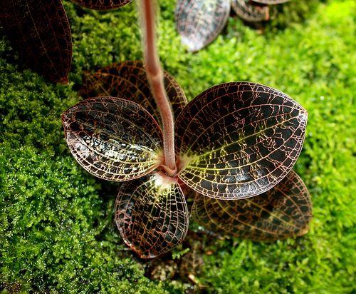 Anoectochilus Albolineatus E C Parish Rchb F Jewel Orchid