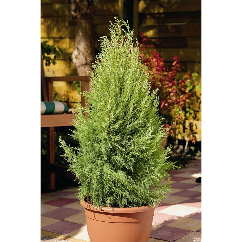 Find 140mm Conifer Lemon Scented At Bunnings Warehouse Visit Your