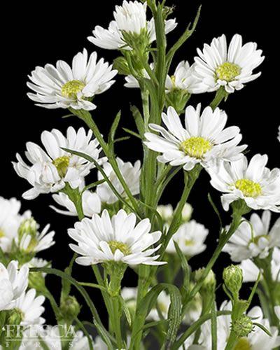 Carnival White Aster White Flower Arrangements White Flowers Event Flowers
