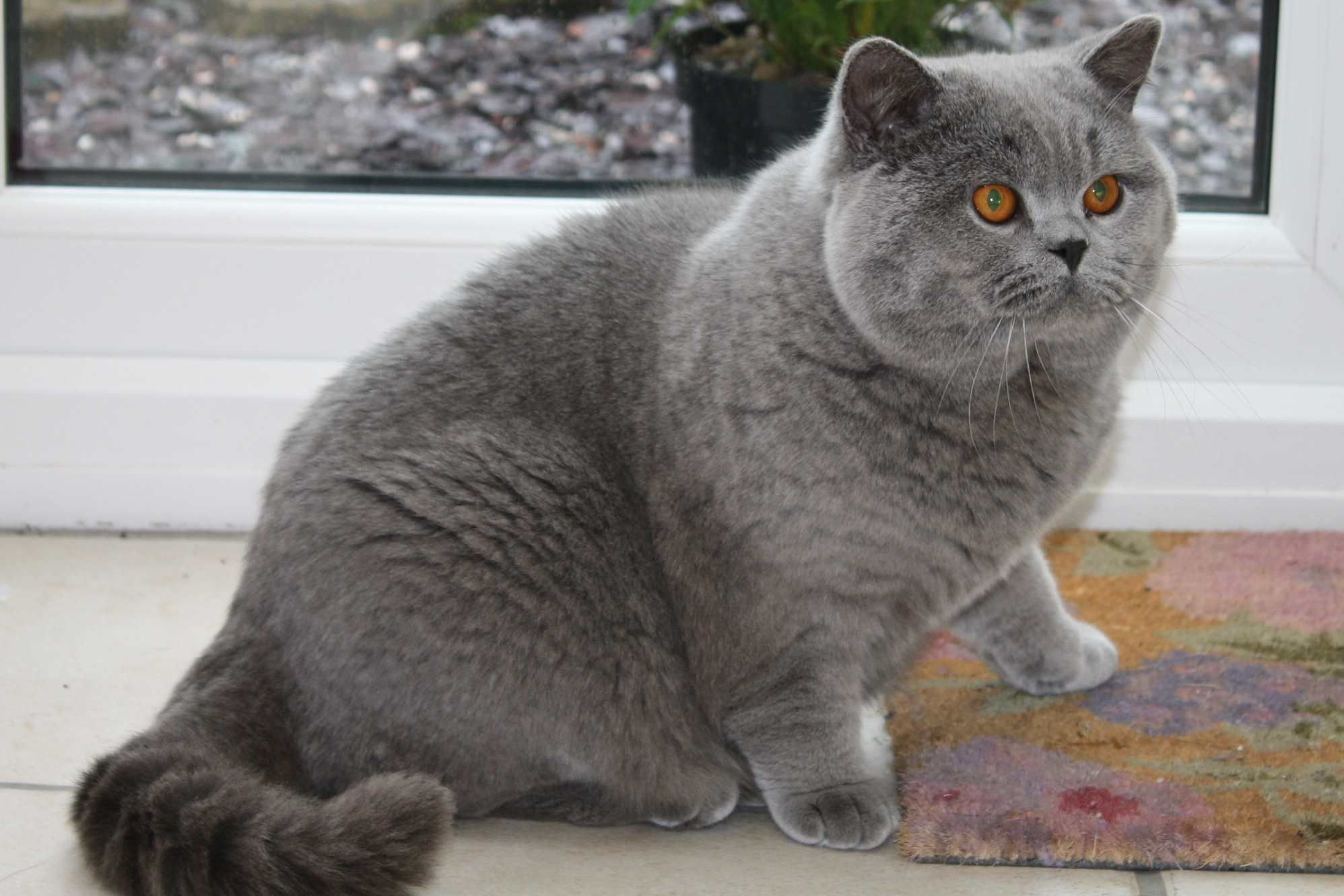 Barely any legs.. British shorthair cats, British