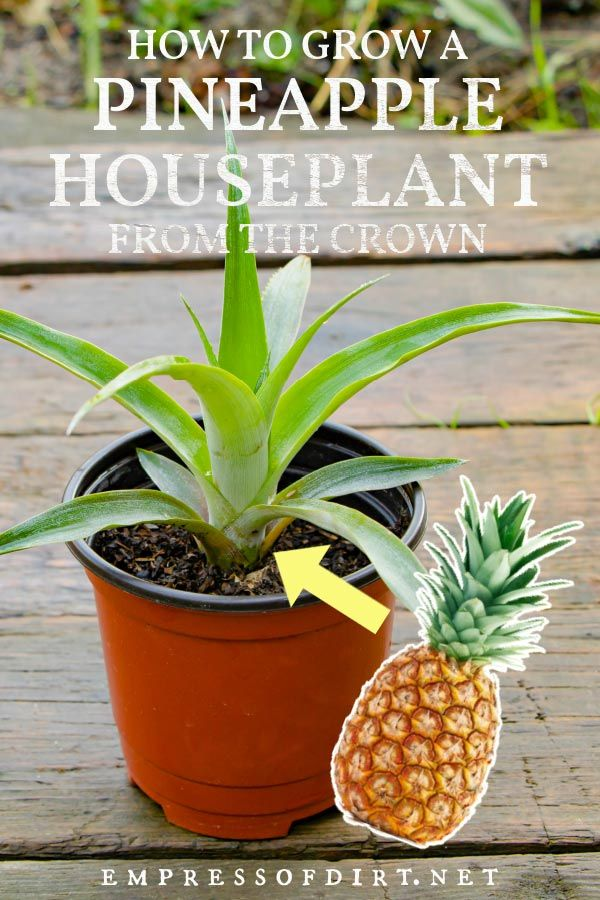 How to propagate the top of a pineapple, root it, and grow it into a houseplant with step-by-step instructions.