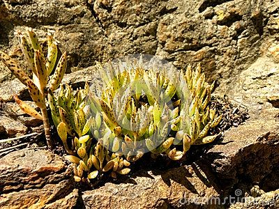 A close-up view of a succulent plant growing in a rock hollow.