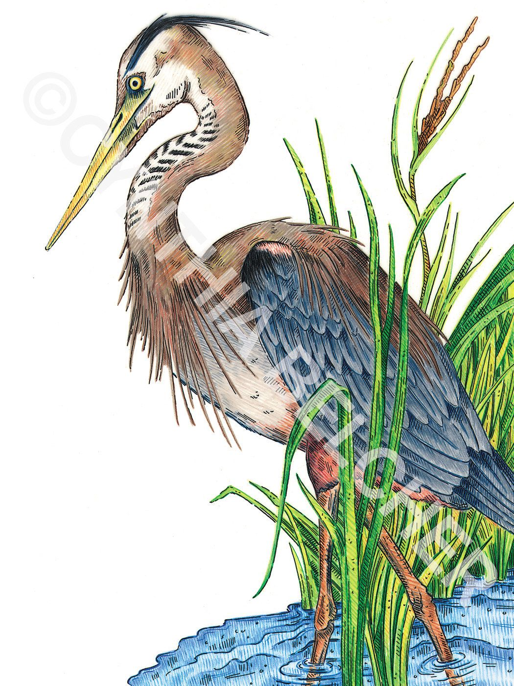 Popular Items For Color Pencil Drawing On Etsy Color Pencil Drawing Blue Heron Colorful Drawings