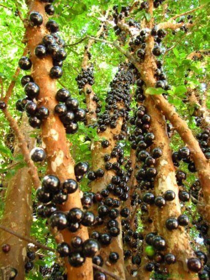 Jabuticaba The Beautiful Tree That Grows The Fruit On Its Trunk 1001 Gardens Fruit Trees Beautiful Tree Planting Vegetables