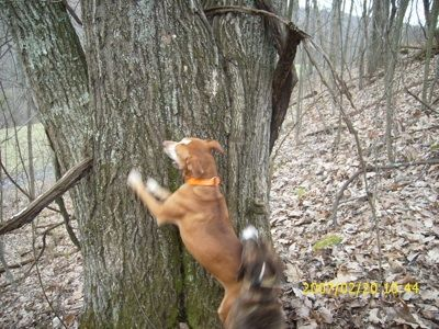 Mountain Cur Information And Pictures Mountain Curs Cur Dog Cur