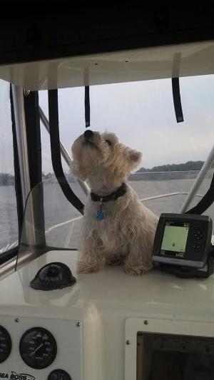 West Highland White Terrier By Carmen Westie Dogs Westies