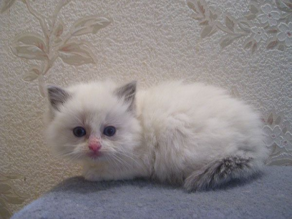 Kittens Little Miracles That They Are Are Endowed With All The Natural Gifts To Make Them Perfe Ragdoll Kittens For Sale Ragdoll Cats For Sale Ragdoll Kitten