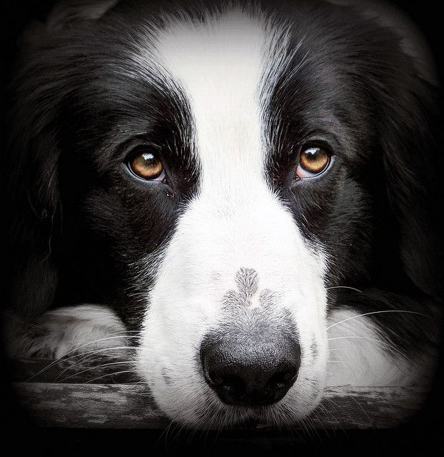Big Brown Eyes Dogs Collie Border Collie