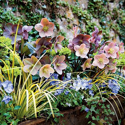 Tough As Nails Perennial Yellow acorus, lime green euphorbia, purple viola, variegated ivy, and pink Lenten rose make this container pop. Combine lenten roses with these three great plants for maximum curb appeal: Hostas: Their wide leaves hide the foliage of fading bulbs. Daffodils: Early-blooming types continue the show. Black mondo grass: It's dark, grassy foliage provides excellent contrast.