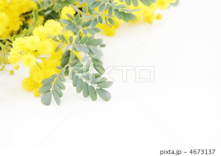 ミモザの花 ナチュラルの写真素材写真素材イラスト販売のpixta