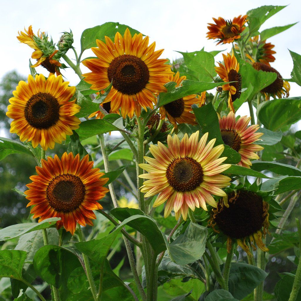 Sunflower Evening Sun Organic Dark Centers Are Ringed By A Wide Range Of Vibrant Outside Colors Reminiscent Of A Set Full Sun Flowers Flower Seeds Sunflower