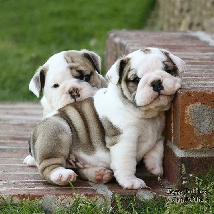 Pin By Alexa Grey On Dogs Lover Cute Bulldog Puppies Cute Baby