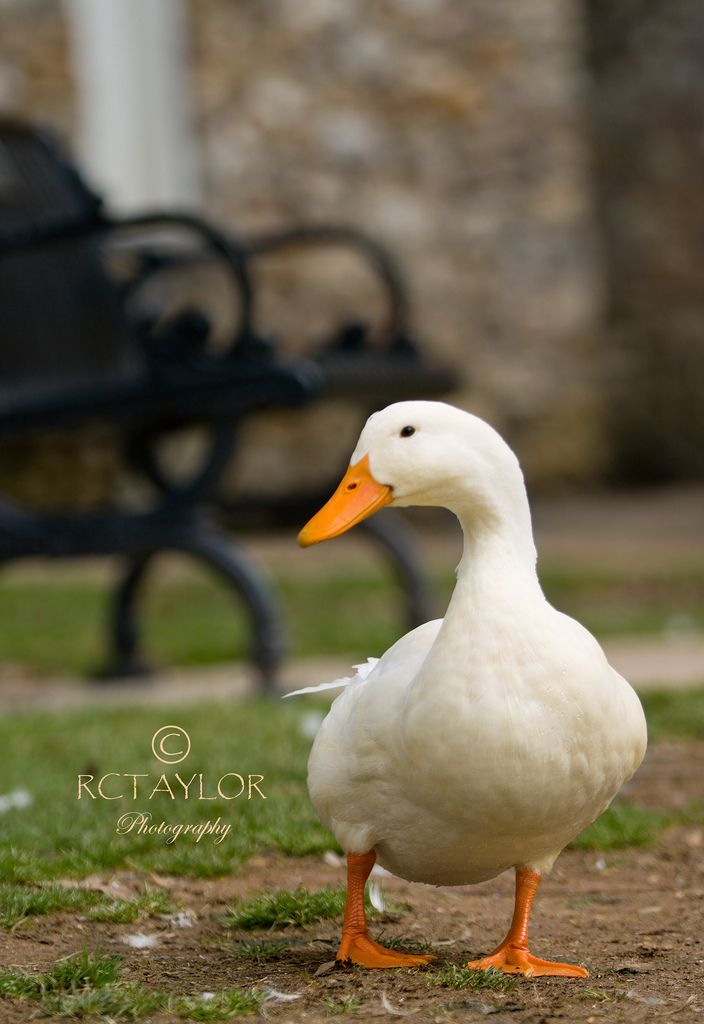 Duck in the park