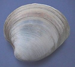 Quahog Facts, FAQ & Pictures ~ All About the Quahog, Hard Clam