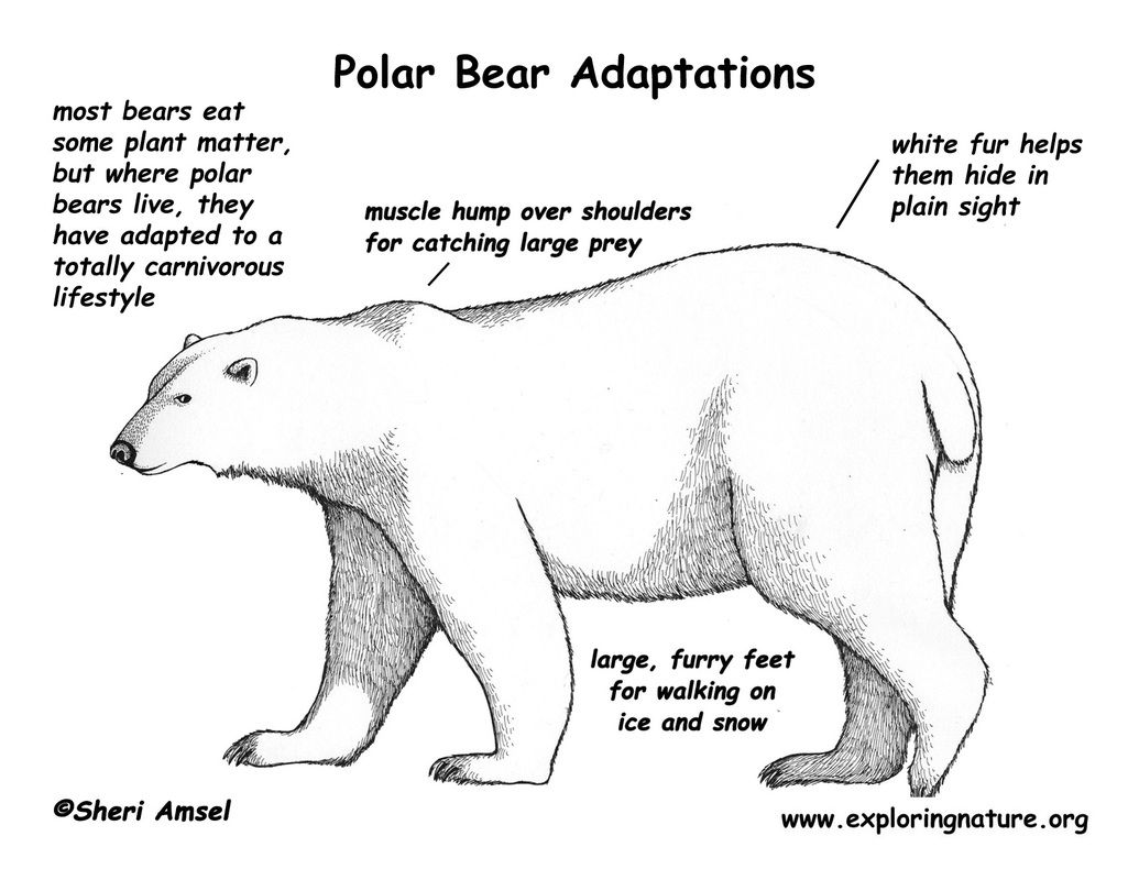 Pin By Mills On Polar Bear Adaptations In