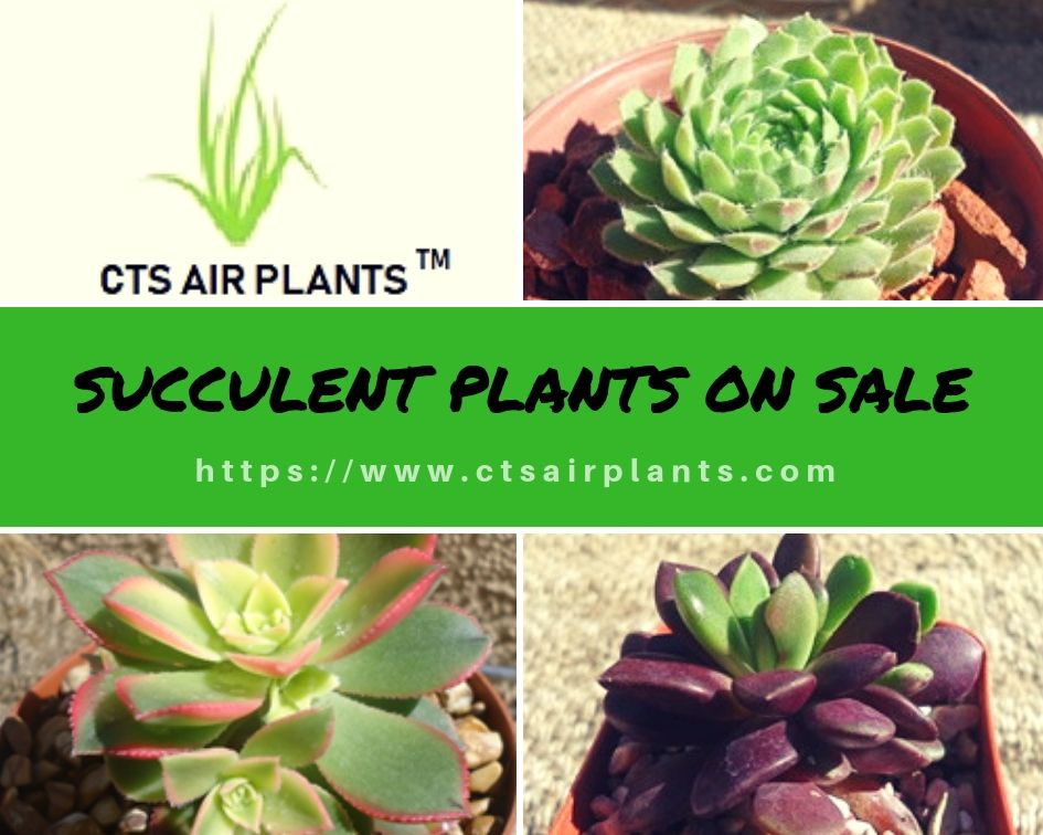 Wants To Plants Online Decorate Your Home Or Office Areas Ctsairplants Supplies Quality Succulent Air Plant Other Growing