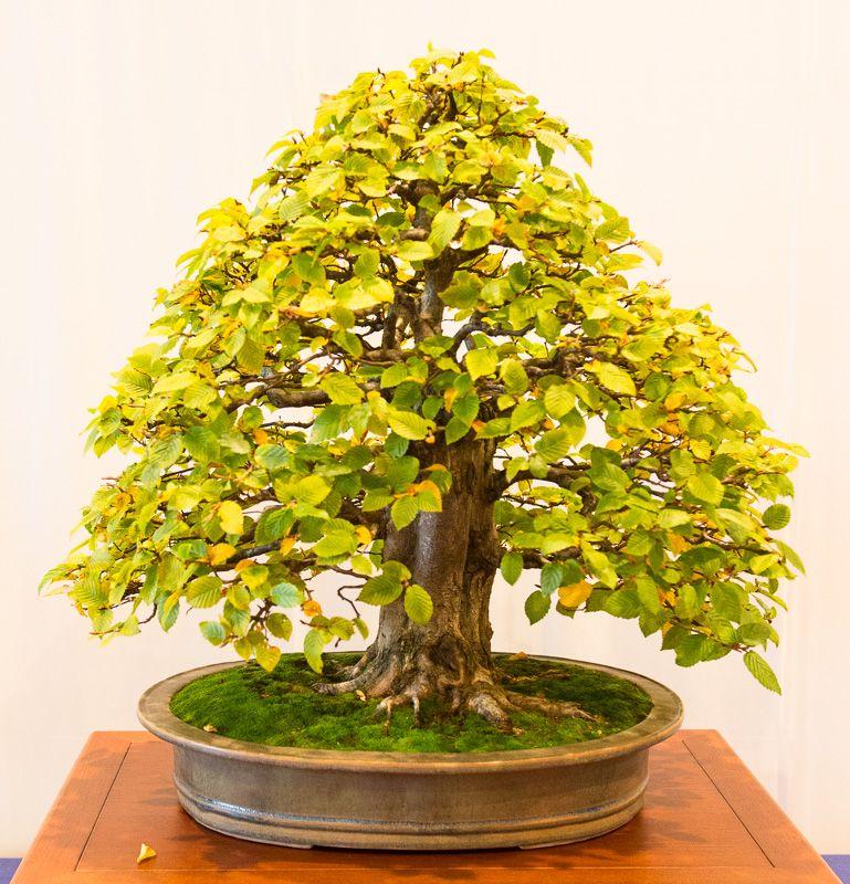 alte hainbuche carpinus betulus auf der bundesausstellung 2014 in mannheim bonsai b ume. Black Bedroom Furniture Sets. Home Design Ideas
