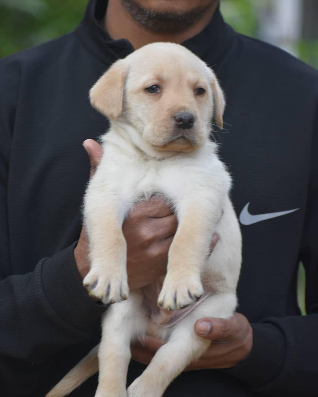 Pin On Labrador Puppy