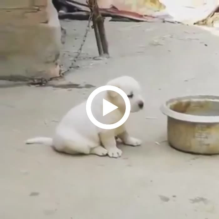 when dogs learn to crow like chickens