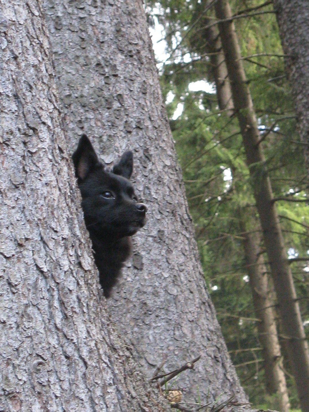 Schipperke Peek A Boo   Schipperkes   Pinterest   Dog