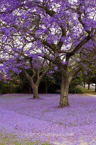 Real Jacaranda Trees Are Purple Gorgeous Why Do People Photoshop