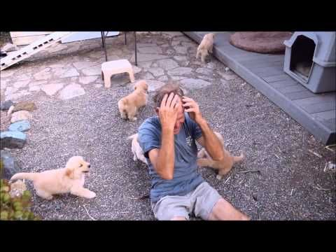 Golden Retriever Puppy Attack Youtube Old Golden Retriever