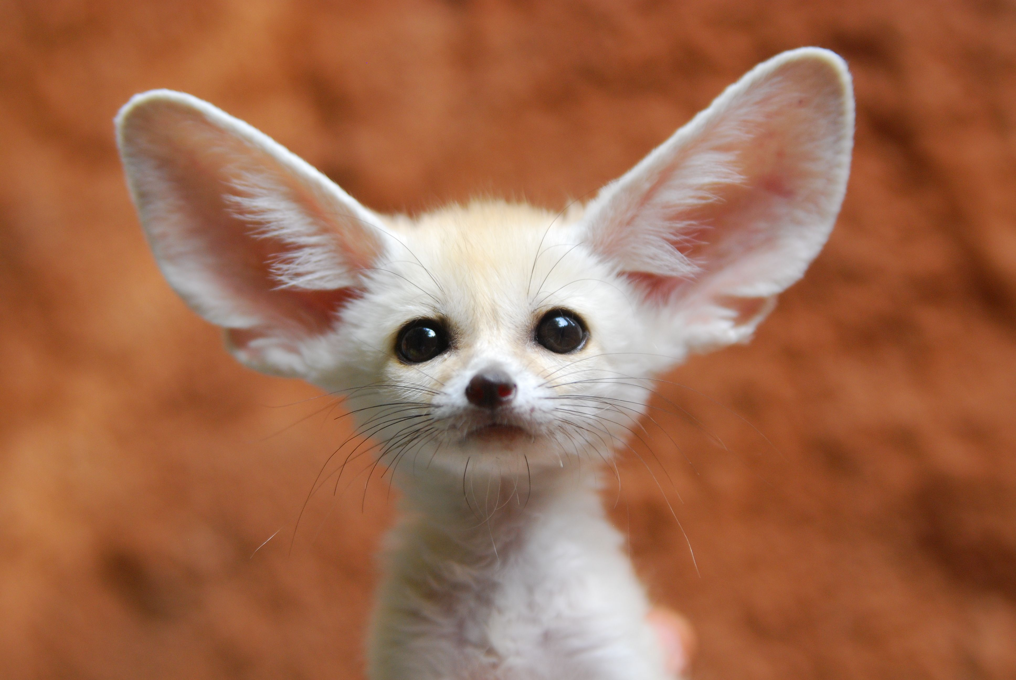 Keeping And Caring For Fennec Foxes As Pets Cute Animals Cute Funny Animals Cute Baby Animals