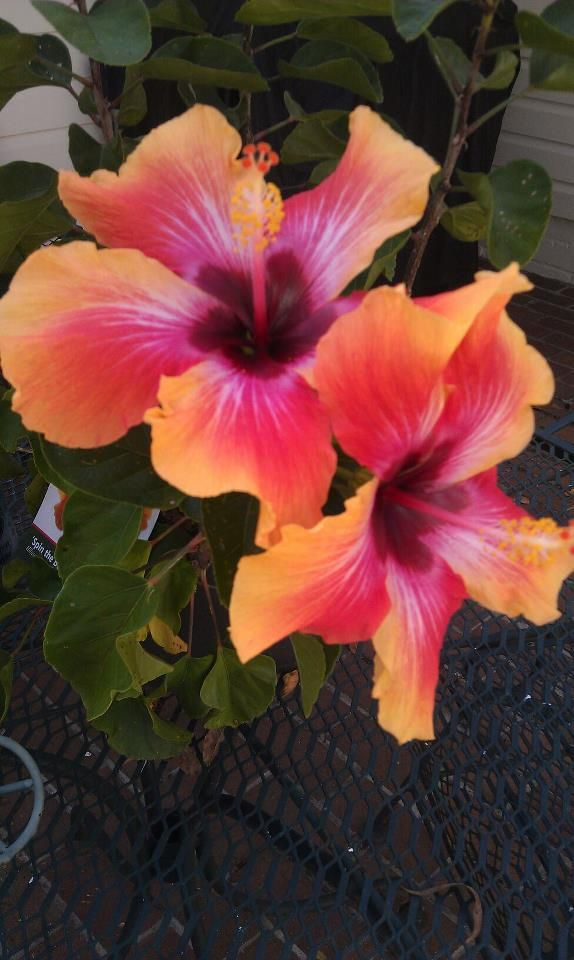 Spin The Bottle From Fancy Hibiscus In Florida Blooms Like A Fool