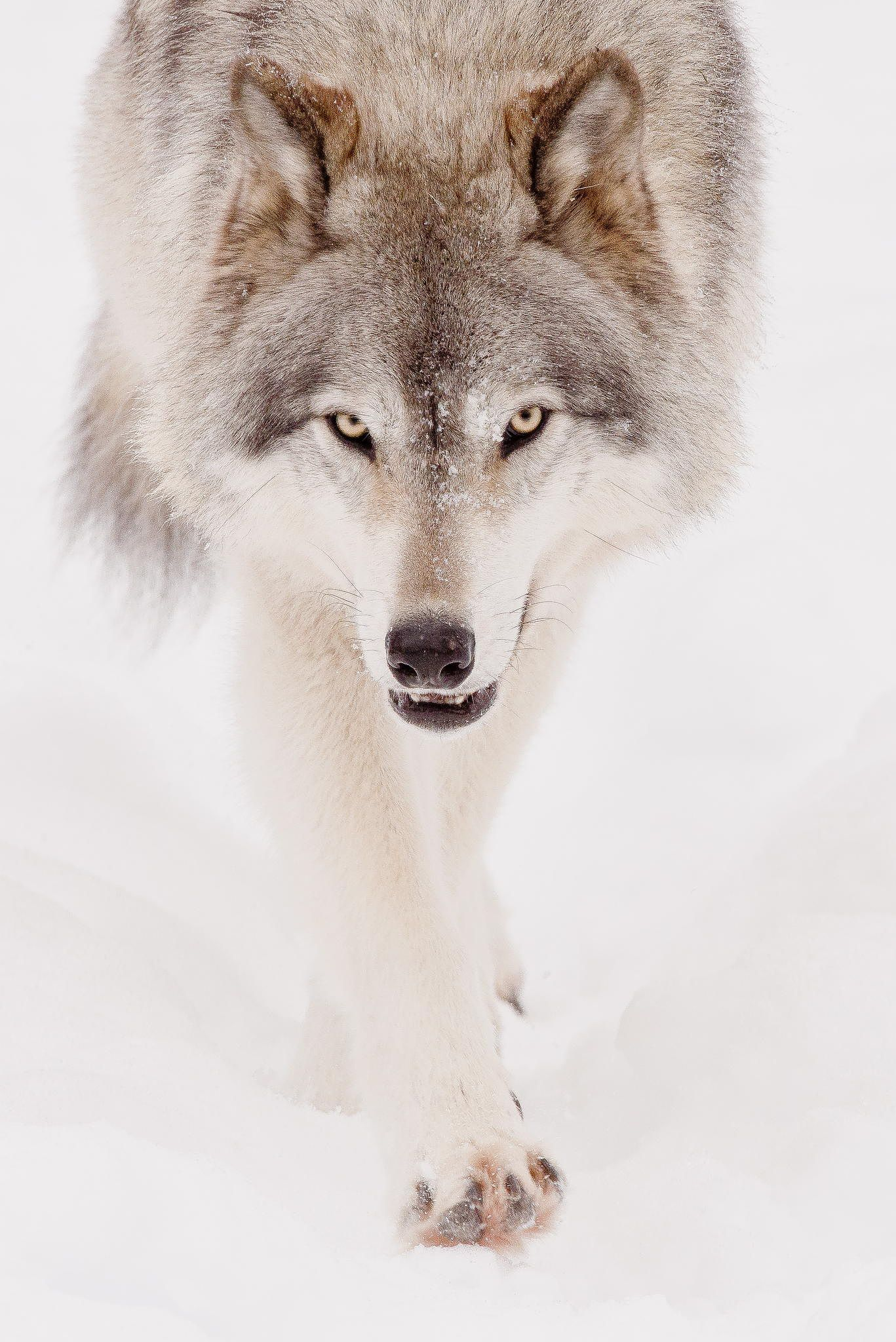 Gray wolf by Maxime Riendeau on 500px Wolf