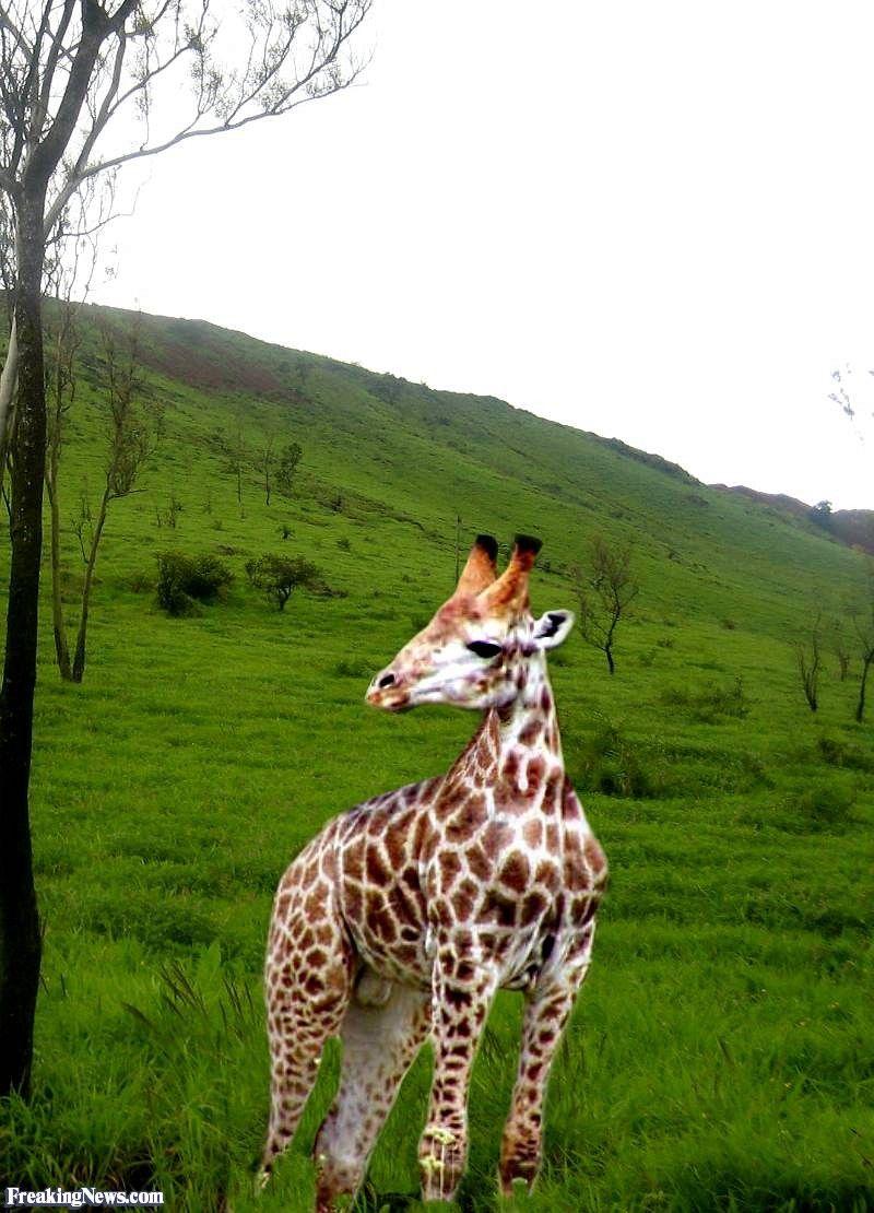 Kurzhalsgiraffe