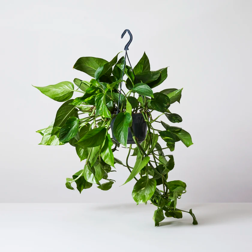 Devils Ivy Golden Pothos Indoor Plants In London Devils Golden Indoor Ivy London Plants Pothos In 2020 Ivy Plants Ivy Plant Indoor Golden Pothos