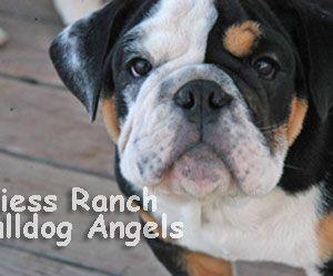 Akc English Bulldog Puppies English Bulldog For Sale Kansas