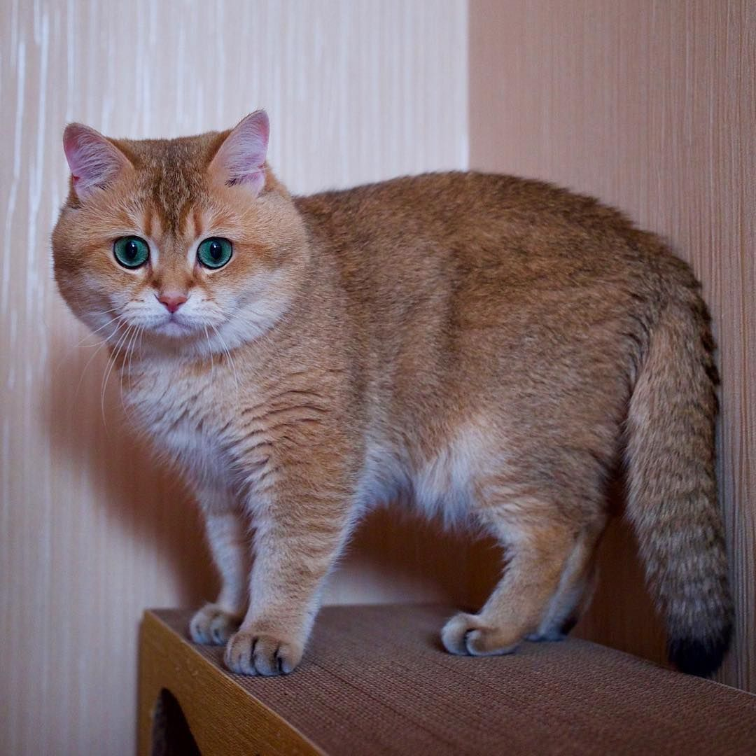 The Scottish Breed Group Is Made Up Of Four Breeds The Scottish Fold Longhair And Shorthair And The S Cats And Kittens Cat Scottish Fold Scottish Fold Kittens