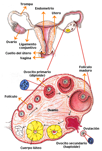11-0.png (353×523) | Medicina | Pinterest | Medicina, Anatomía y ...