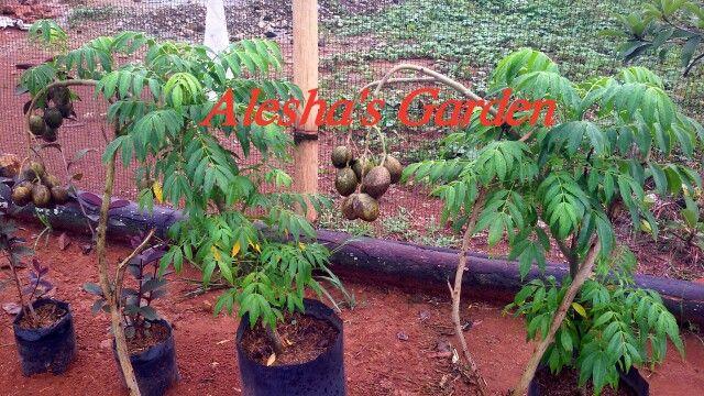 Sale! Kedondong tree