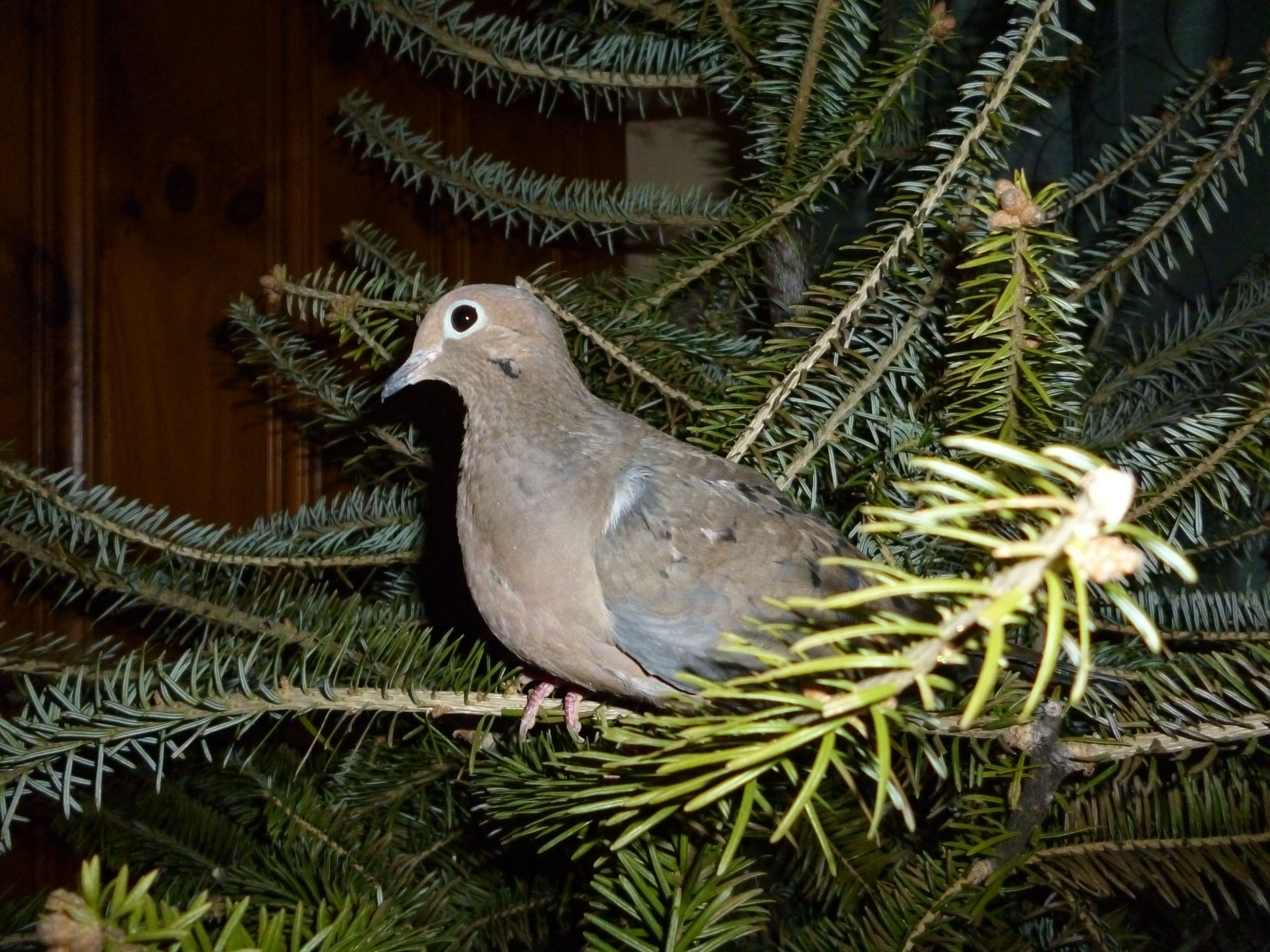 Mourning dove at christmas birds pinterest bird mourning dove at christmas buycottarizona