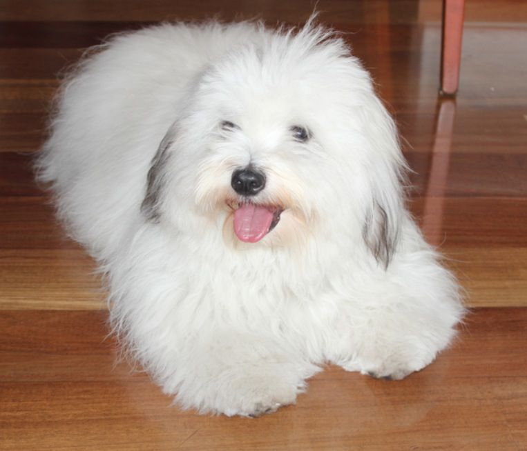 Pin By Emily Turner On Dog Ideas North American Breeds Coton