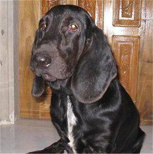 I Ve Never Seen A Black Basset Before Basset Hound Dog Hound Dog Basset