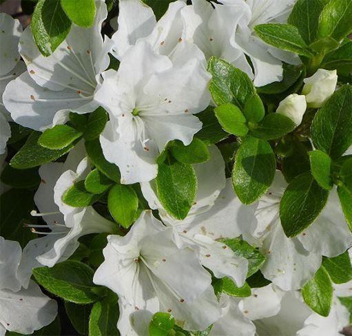Azalea Panda Pure White Compact Dwarf Evergreen Evergreen Garden Garden Shrubs Azaleas