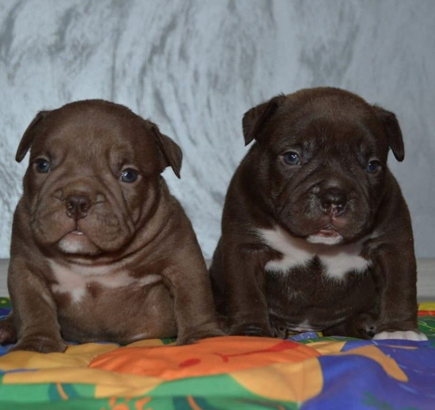 My Wittle Valley Bulldog Valley Bulldog Bully Breeds Super