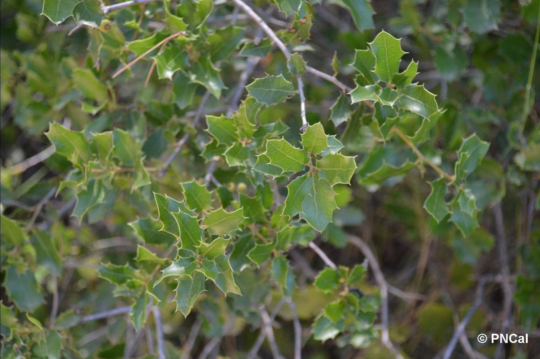 Chªne KERMES arbre méditerranéen  feuilles épineuses attention