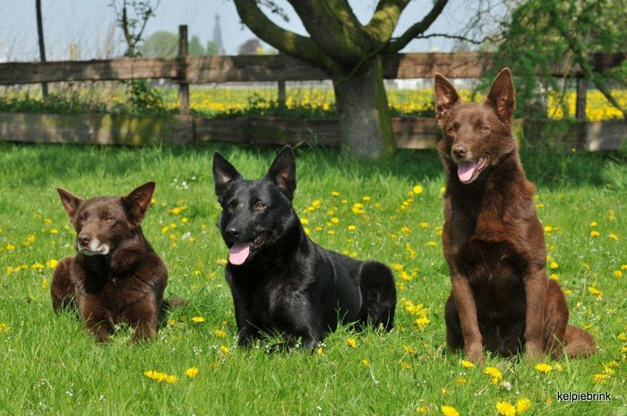 Red And Black Australian Kelpies Working Dogs Breeds Work With Animals